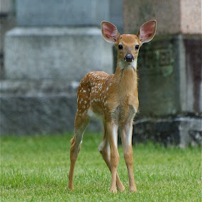 Baby Bounder by Deb Dicker - Animals Other Mammals ( cemetery, fawn, baby, deer,  )