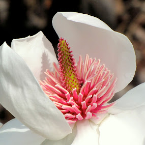 In bloom by Charlotte Weychan - Nature Up Close Flowers - 2011-2013 ( plants, spring, magnolia )