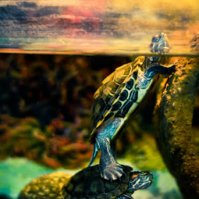 Its a Tough World! by Dan FotoWorx - Animals Reptiles ( turtles )