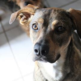 Mira 3 by Carola Mellentin - Animals - Dogs Portraits