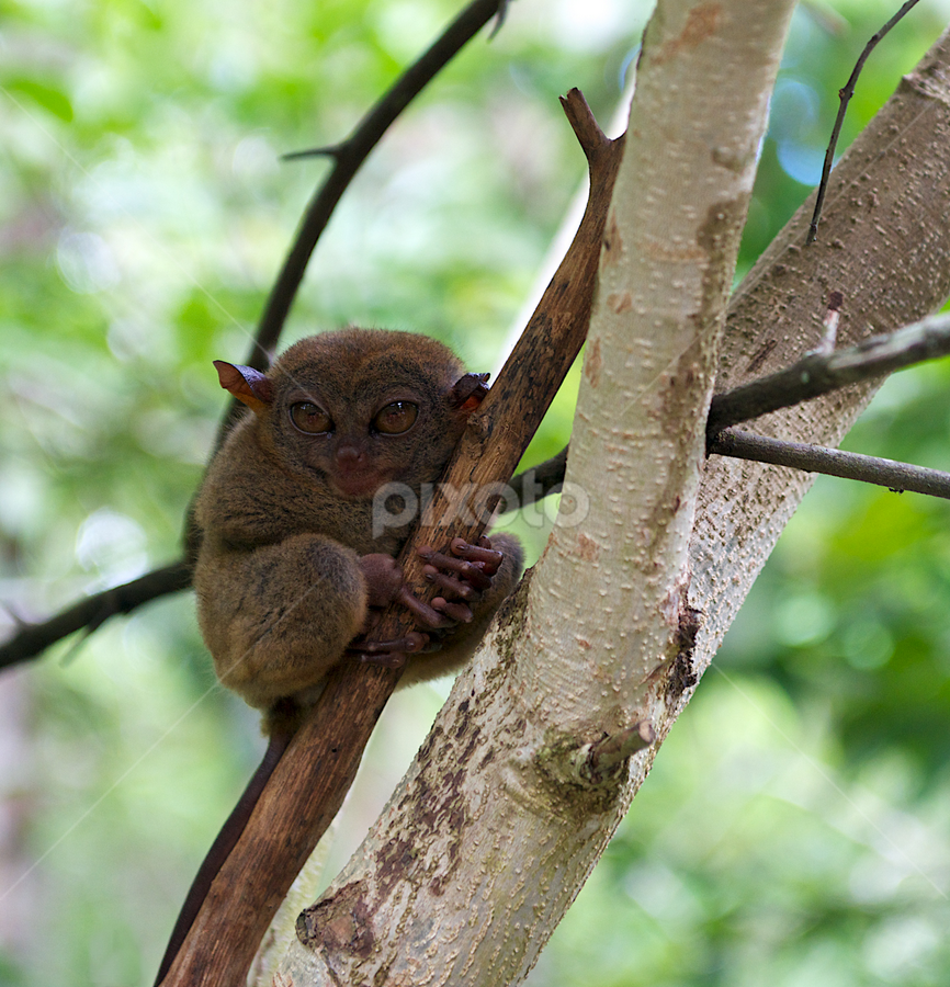 Smile by Renata Apanaviciene - Animals Other Mammals ( funny monkey, monkey, animals, tarsier )