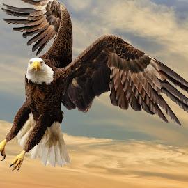 Bald Eagle by Shutter Bay Photography - Animals Birds ( bird, bird of prey, eagle, nature, bald eagle )