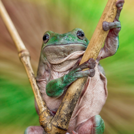 Watch Frog.... by Vincent Sinaga - Animals Amphibians ( frog, watch, amphibian, maluku frog, animal )