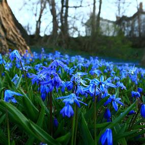 Blue Wonderland by Nancy Tonkin - Flowers Flowers in the Wild ( tree, blue, stars, wildflower, siberian, squill,  )