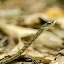 Southern Bronzeback/Large-eyed Bronzeback tree snake
