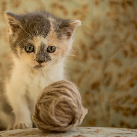 Miss Cleo by Melanie Ayers Wells-Photography - Animals - Cats Kittens ( miss cleo, kitten, melanie wells photography, yarn, baby kitten )