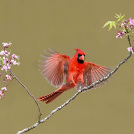 Red and Pink by Wade Grassedonio - Animals Birds ( bird, red, cardinal, pink, texas photo ranch,  )