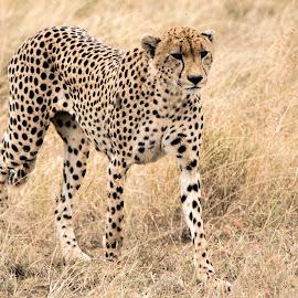 Cheetah on the prowl by Pravine Chester - Animals Lions, Tigers & Big Cats ( savannah, cheetah, big cats, animals, nature, serengeti, wildlife, tanzania )