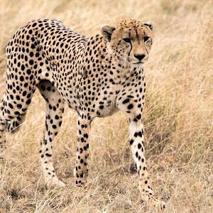 Cheeta3873a.jpg