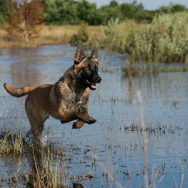 Running in water  by Wendy Chlum - Animals - Dogs Running ( water, animals, dog, running )