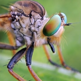 Robber fly by AbngFaisal Ami - Instagram & Mobile Other