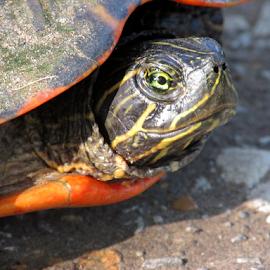 Turtle Eye by Jamie Hodge - Animals Reptiles ( turtle eye, orange, green, yellow, snapper, turtle,  )
