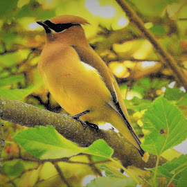 cedar waxwing in the mulberry tre by Mary Gallo - Animals Birds ( bird, nature, tree, wildlife, bird in tree, cedar waxwing, mulberry tree, waxwing, animal )