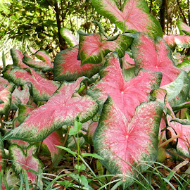 Patch of Elephant Ears by Kathy Rose Willis - Nature Up Close Leaves & Grasses ( green, elephant ears, nature up close, pink, leaves,  )