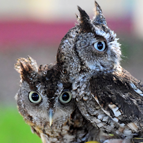 Growing Up Human by Jamie Boyce - Animals Birds ( rehab, nature, wildlife, feathers, birds, owls, eyes, screech owls,  )