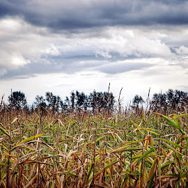 Clouds and corn  by Todd Reynolds - Landscapes Prairies, Meadows & Fields