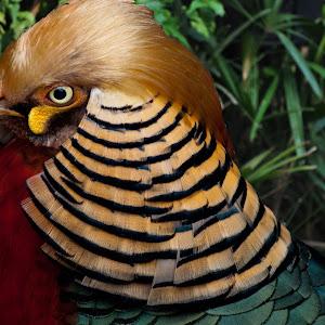 Golden Pheasant.jpg