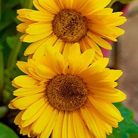 Yellow pair by Radu Eftimie - Flowers Single Flower ( flowers, yellow, two )