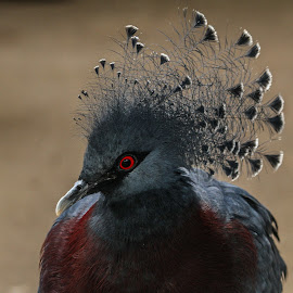 Victoria by Garry Chisholm - Animals Birds ( pigeon, crowned )