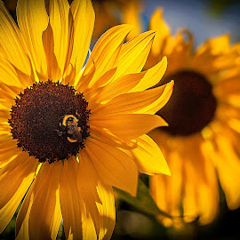 Sunny Days by Nancy Senchak - Flowers Flowers in the Wild