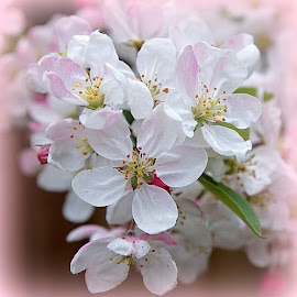 Apple blossom by Caroline Beaumont - Flowers Tree Blossoms ( apple blossom )