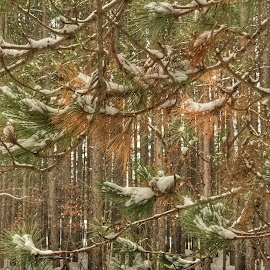 Snowy Pines by Patti Pappas - Landscapes Forests ( pines, michigan, winter, snow, trees )