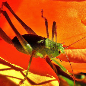 Speckled Bush Cricket by Martin Brown - Animals Insects & Spiders ( orange, nature, lumix, cricket, insect, close up, garden, petal,  )