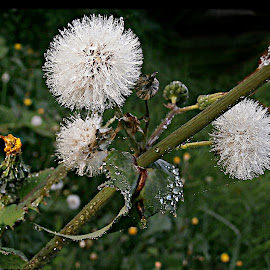 Sonchus Family At Rain by Marija Jilek - Nature Up Close Other plants