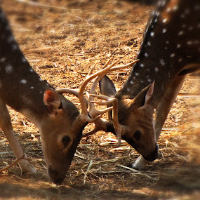 Play or Fight by Abhishek Mandal - Animals Other Mammals ( fight, play, wildlife, deer,  )