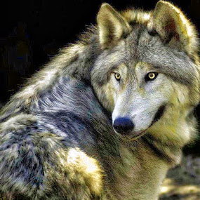 Wolf by Bruce Newman - Animals Other Mammals ( predator, animals, beautiful, nature up close, wolfe, natures beauty, portrait,  )