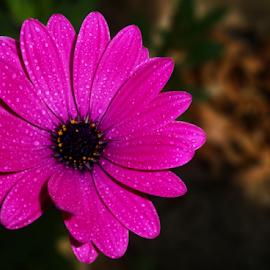 by Kris Pate - Flowers Single Flower