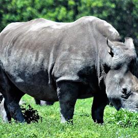 Rhino by Priscilla Renda McDaniel - Animals Other ( lion country safari, massive, theme park, horn, rhino, large, animal )
