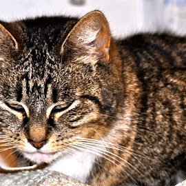 Contentment by Janet Young- Abeyta - Animals - Cats Portraits ( kitten, cat, tabby )