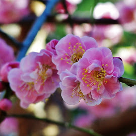 Cherry Blossom by Sarah Harding - Novices Only Flowers & Plants ( plant, nature, novices only, garden, flower )