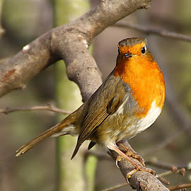 Robin Look by Chrissie Barrow - Animals Birds ( bird, orange, robin, wild, wing, european, beak, brown, feathers, tail, cream, eye, animal )
