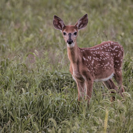 Deer by Gerald Glaza - Animals Other ( nature, bambi, doe, fawn, baby, deer,  )