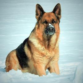 Ryden's winter by Sue Delia - Animals - Dogs Portraits ( german shepherd, dog,  )