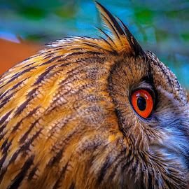 Owl by Rananjay Kumar - Animals Birds ( #beauty, #orange, #owl, #wild, #colorful, #canon, #eye )