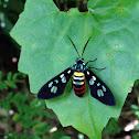 Tiger Moth or Wasp Moth