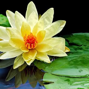 Lil Lilly... by Charles Grubbs - Flowers Single Flower ( lilly pads, yellow, lilly )