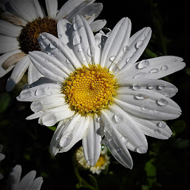 Raindrops on a daisy by Mary Gallo - Flowers Flower Gardens ( macro, white flower, waterdrops, raindrops, nature, nature up close, garden flower, daisy, flower,  )