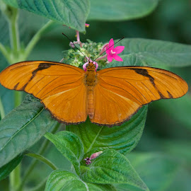 Julia Butterfly by Marcy Herrick - Animals Other ( butterfly, nature )