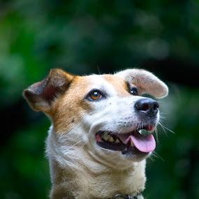 Dolly 3 by Vivek Chethan Muliya - Animals - Dogs Portraits ( toungueout, animals, dogs, portraits, nicedog )
