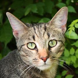Visiting Cat by Debra Branigan - Animals - Cats Portraits ( cats, animals, portraits, photography,  )