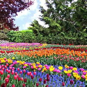 Tulip Garden by Nancy Young - Flowers Flower Gardens ( colorful, tulips, flowers, garden,  )