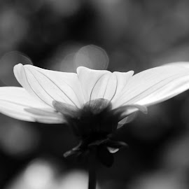 Moonglow by Barbara Langfeld - Black & White Flowers & Plants ( close-up, city park, black and white, historic site, park, flower )