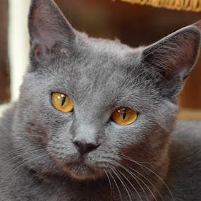 Joconde de Ventadour by Isabelle Ebens - Animals - Cats Portraits ( cat face, cat, cat eyes, chartreux, amber, cat portrait )