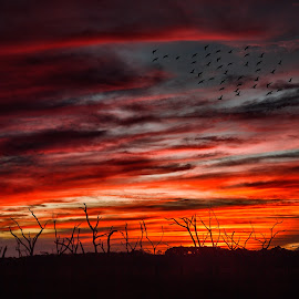 by Kelley Hurwitz Ahr - Landscapes Sunsets & Sunrises ( flock of birds, charleston, colors, sunset, sillouette, january 2016, birds, south carolina )