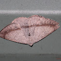 Bracken Fern Geometrid Moth