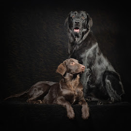 Two Flatcoat Retrievers by Linda Johnstone - Animals - Dogs Portraits ( studio lighting, brown fur, animals, cute puppy, dogs, pets, dark background, cute dog, black fur )